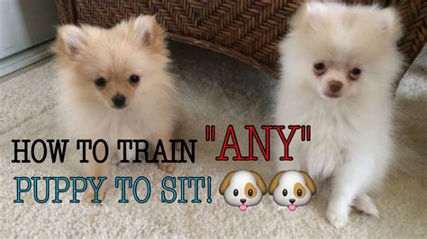 HOW I TRAINED MY POMERANIAN PUPPIES TO SIT! QUICK & EASY