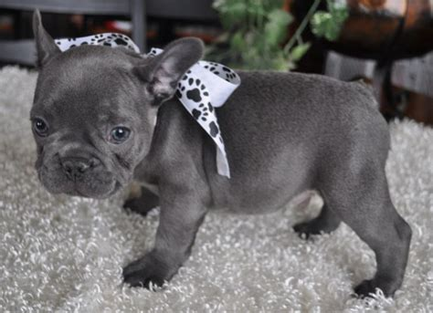 Miniature Blue French Bulldog Puppies For Sale | French