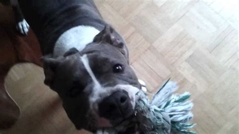 Blue Line Pit Bull growls playing Blue Nose Amstaff