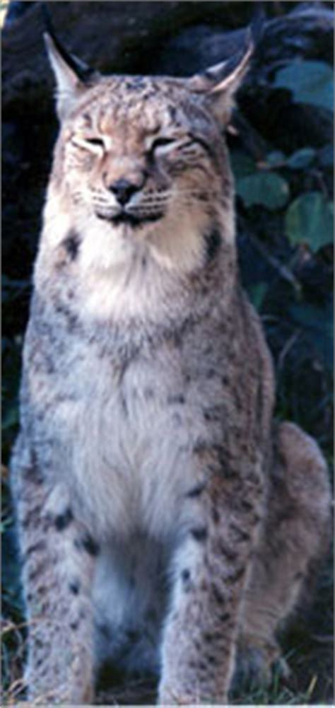 Siberian Lynx facts, photos, sounds, videos and news