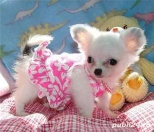 Chihuahua talie teacup - livrare in orice oras Sector 1
