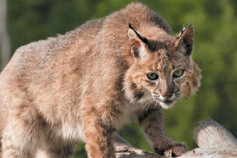 Meet the Wildcats in the Lynx Family - Catster