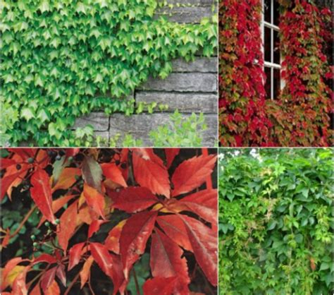 Vita canadiana (Parthenocissus spp