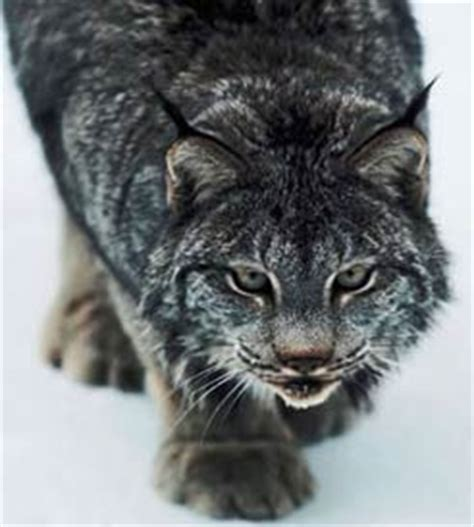 Lynx - Cats with Martian Ears | Animal Pictures and Facts