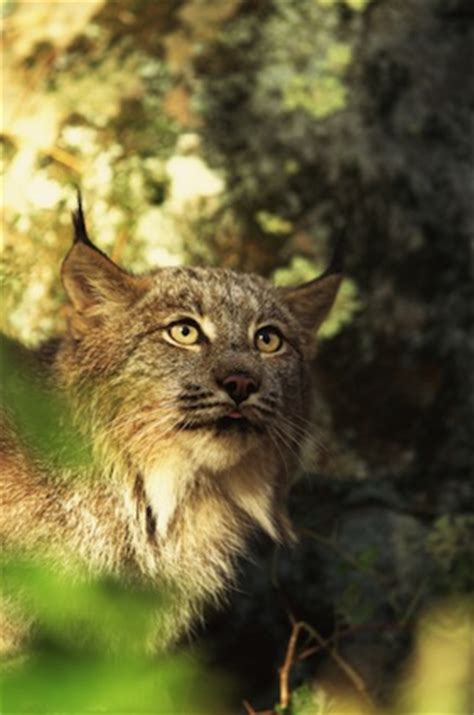 Lynx Facts - Feline Facts and Information