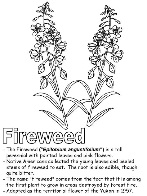 Fireweed coloring page